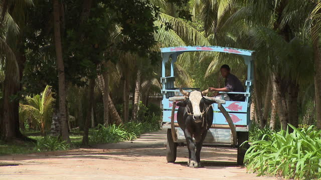 ms ox cart on tree lined dirt road at la digue island, seychelles - 牛車点の映像素材/bロール