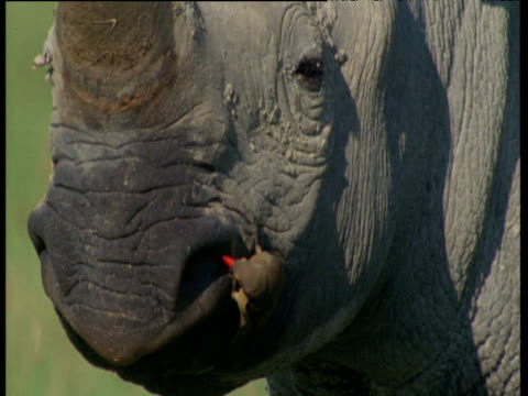 Ox pecker eats mucus from nostril of white rhino