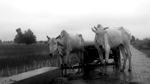 ox standing near cart - ox cart stock videos & royalty-free footage