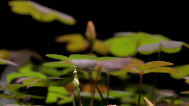 oxalis leaves grow high around seed pods. - plant pod stock videos & royalty-free footage
