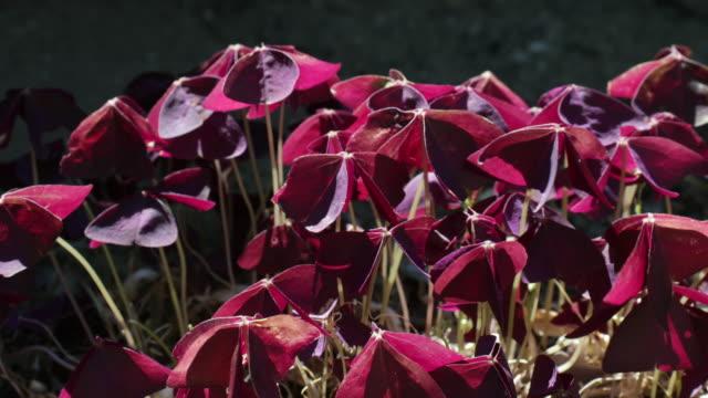 vídeos y material grabado en eventos de stock de oxalis triangularis in a breeze - rosa brillante