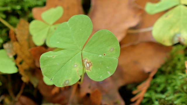 Oxalis wood sorrel giant clover edible macro plant 3 McKenzie River Valley Oregon 39