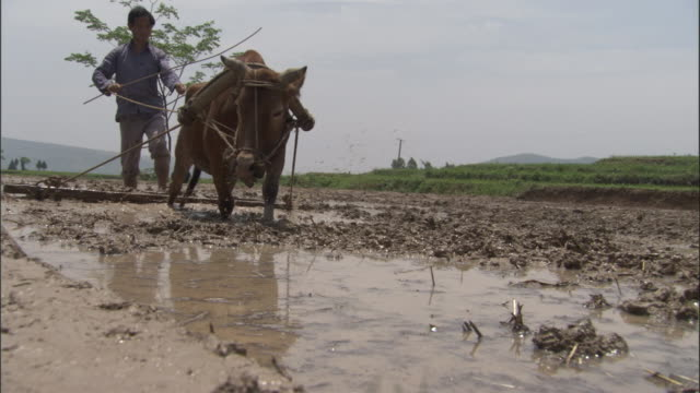 oxen pulls man on wooden platform through paddy field to level out the mud, qinling, china - plough stock videos & royalty-free footage