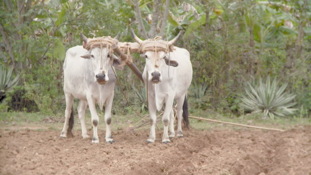 ws oxen standing in field / pinar del rio, cuba - animale da lavoro video stock e b–roll