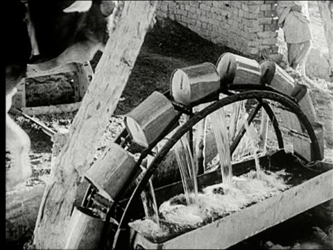 oxen with driven horizontal wooden water wheel below large tree cu oxen with large horns between yoke wheel with cans brings water to trough cu... - water wheel stock videos and b-roll footage