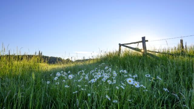 ox-eye daises leucanthemum vulgare, in meadow at sunrise in spring, odenwald, hesse, germany - standbildaufnahme stock-videos und b-roll-filmmaterial