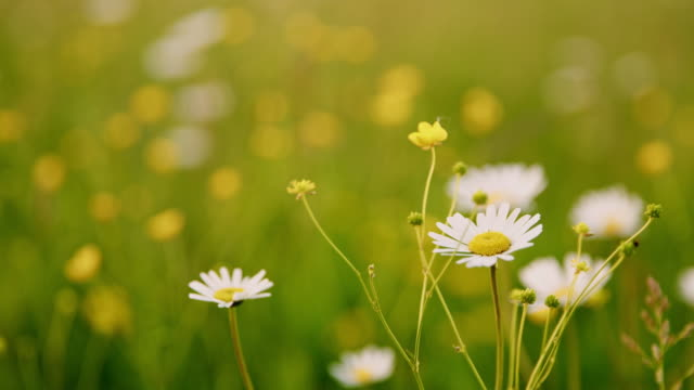 ds cu oxeye daisies in the meadow - daisy stock videos and b-roll footage