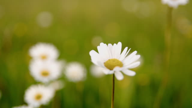 ds cu oxeye daisy in the meadow - daisy stock videos & royalty-free footage
