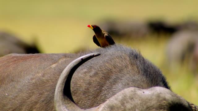 vídeos y material grabado en eventos de stock de ms td oxpecker sitting on back of buffalo / masai mara, kenya - ganadero
