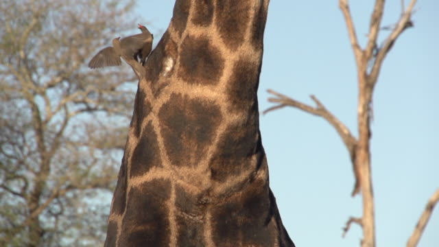 MCU oxpeckers feeding on the neck of a giraffe, Kruger National Park, South Africa