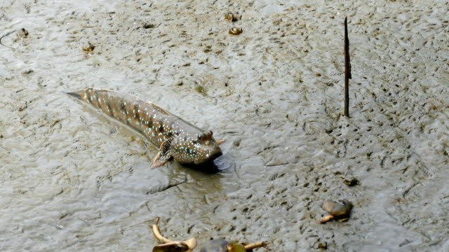 oxudercinae - mudskipper stock videos and b-roll footage