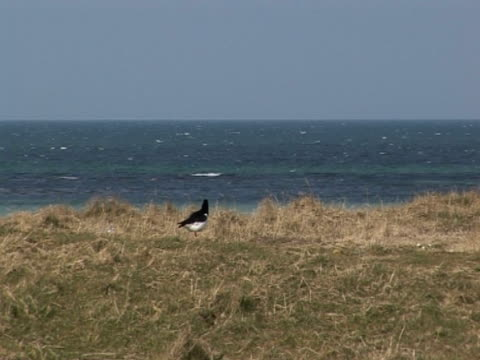 Oyster Catcher, calm blue sea, exploration, hunting on land