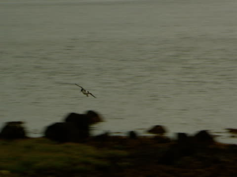 Oyster Catcher, flying, landing on rock by lake, freedom