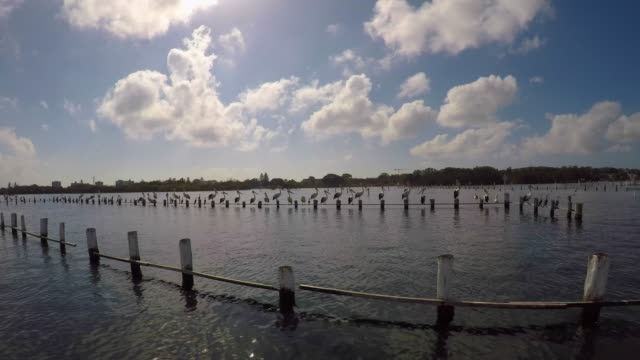 Austernfarm und Pelikane
