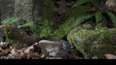 t/l oyster mushrooms (pleurotus ostreatus) growing from woodland floor, uk - pilz stock-videos und b-roll-filmmaterial