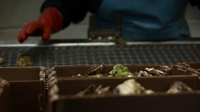 vídeos de stock e filmes b-roll de oyster - grupo mediano de animales