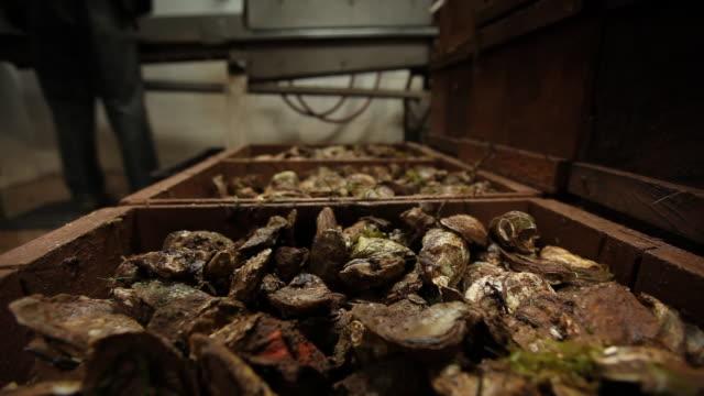vídeos de stock, filmes e b-roll de oyster - grupo mediano de animales