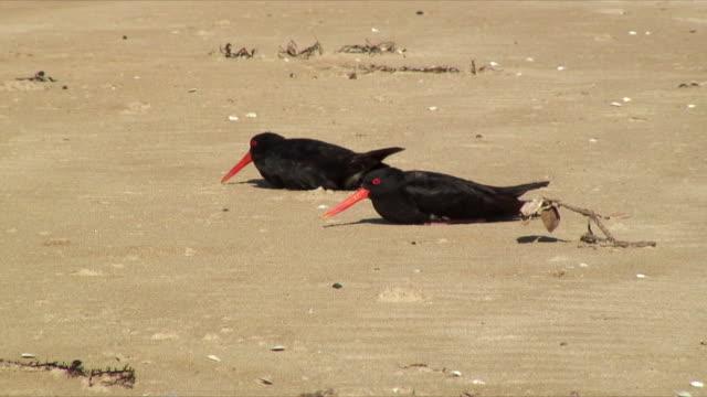 MS PAN Oystercatcher birds resting on beach, Mimiwhangata, New Zealand
