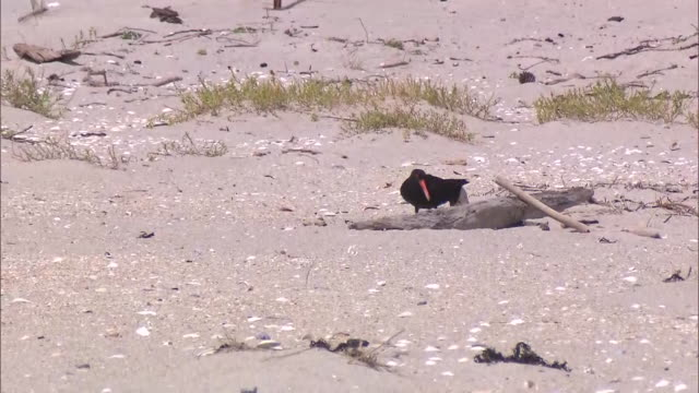 oystercatchers bird on beach at bream bay near waipu northland - wildlife conservation stock videos & royalty-free footage