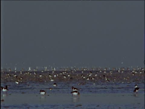 Oystercatchers forage on mud flats