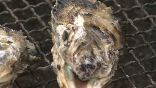 oysters cook on a grill. - grilled stock videos and b-roll footage