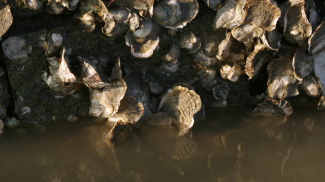 vídeos de stock, filmes e b-roll de oysters (bivalvia) exposed on luoyang bridge as tide recedes, quanzhou, fujian, china - vazante