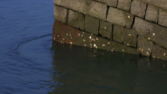 Oysters (Bivalvia) exposed on Luoyang bridge as tide recedes, Quanzhou, Fujian, China