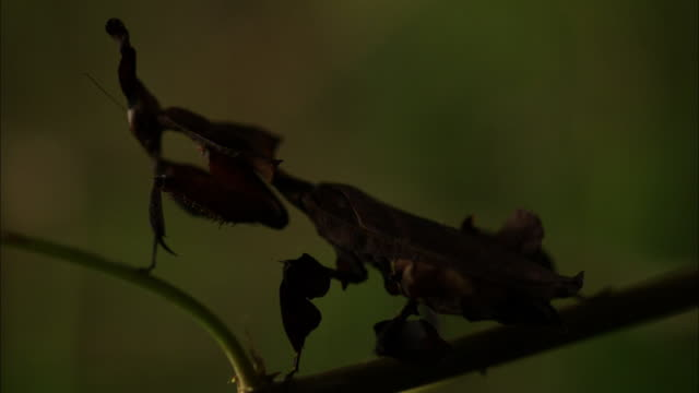 a paarayaraya mantis sits on a stem. - 擬態点の映像素材/bロール