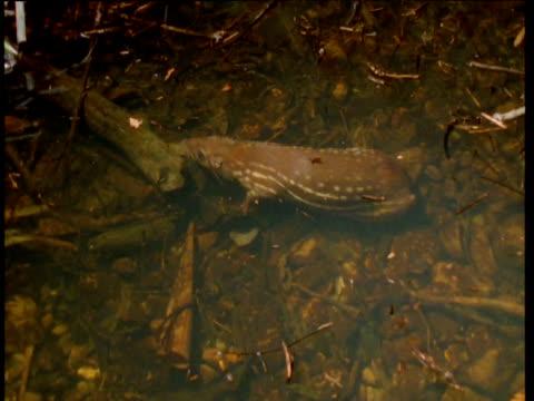 vidéos et rushes de paca hides underwater to avoid predation, south america - mammifère aquatique