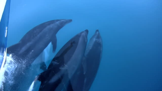 Pacific Bottlenose Dolphins Bow Riding