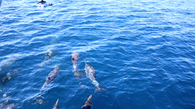pacific common dolphins bow riding racing boat - bow riding stock videos & royalty-free footage