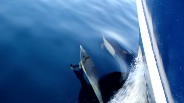 pacific common dolphins bow riding - bow riding stock videos & royalty-free footage