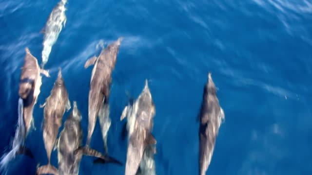 pacific common dolphins bow riding - common dolphin stock videos & royalty-free footage