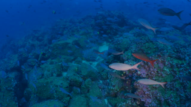 Pacific Creole fish schooling at deep coral reef, Galapagos