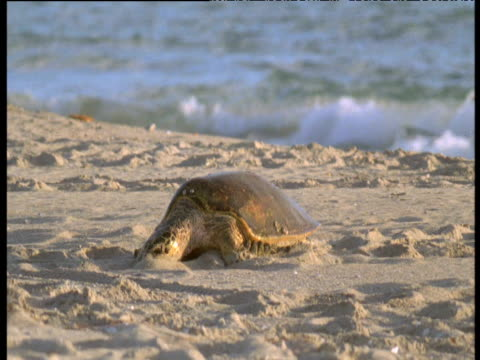 pacific green turtle crawls up beach to lay eggs, crab island, australia - sea turtle stock videos & royalty-free footage