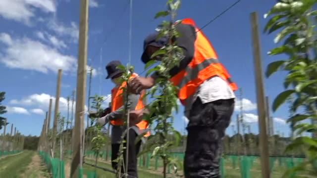 pacific island seasonal workers thinning vines in orchard - orchard stock videos & royalty-free footage