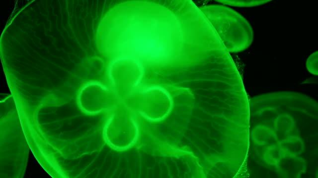 Pacific moon jellyfish