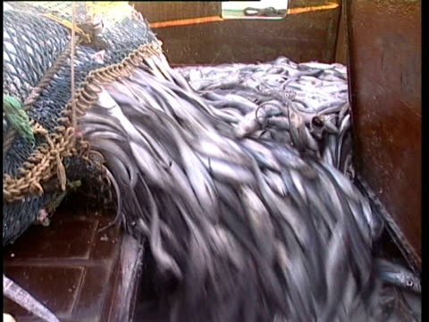 vídeos de stock e filmes b-roll de pacific ocean, nz, ms thousands of fish pouring into deck's hold from bottom of fishing net. - rede de pesca comercial
