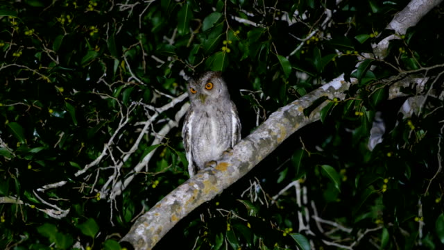 stockvideo's en b-roll-footage met pacific screech-owl (megascops cooperi), perching on a tree - uil