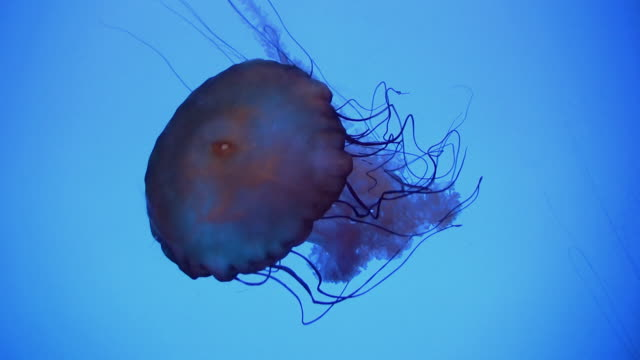 ms pacific sea nettle is floating in brightly lit water / atlanta, georgia, united states - nettle stock videos & royalty-free footage