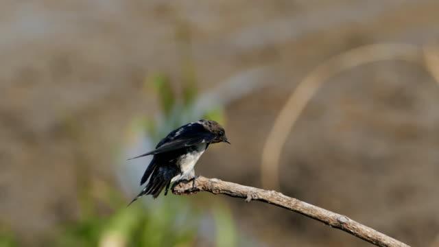 vídeos y material grabado en eventos de stock de la golondrina pacífica en la naturaleza. - cuello de animal