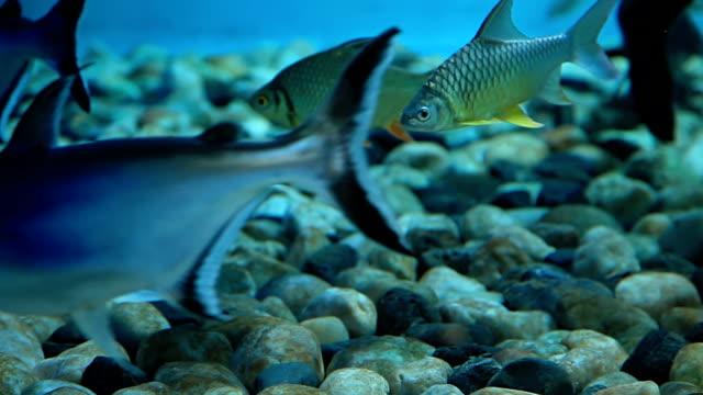 vídeos de stock, filmes e b-roll de pacific tarpon peixe - zoologia