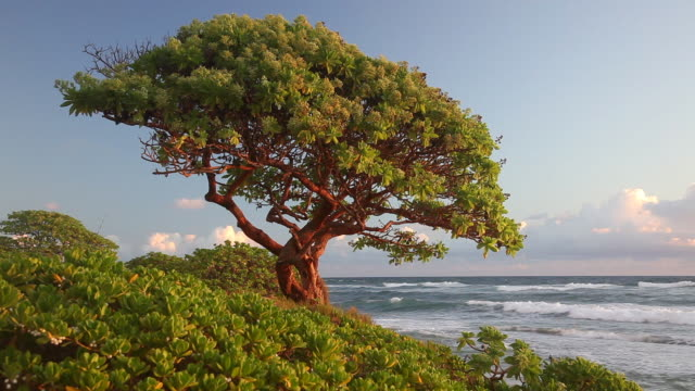 pacific waves roll toward a tree on nukoli'i beach in lihue, hawaii. - isola di kauai video stock e b–roll