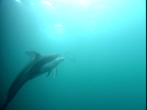 pacific white sided dolphins play in sun-brightened waters. - cetacea stock videos & royalty-free footage