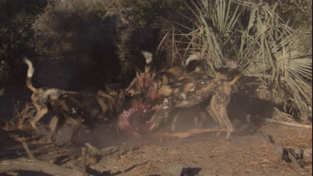 a pack of african hunting dogs feasts on a carcass. available in hd. - group of animals stock videos & royalty-free footage