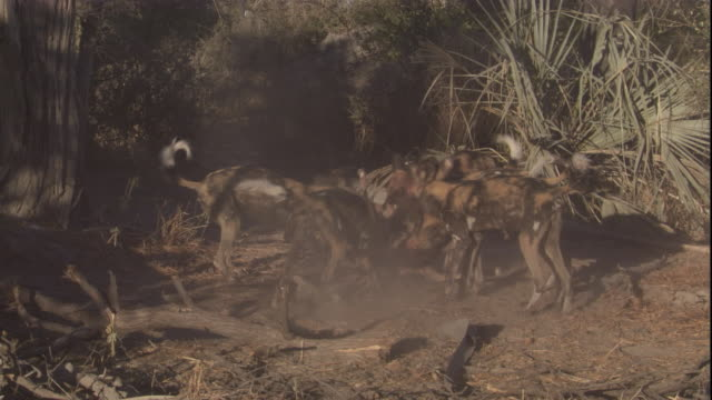 A pack of African hunting dogs feeds on the carcass of an impala. Available in HD.