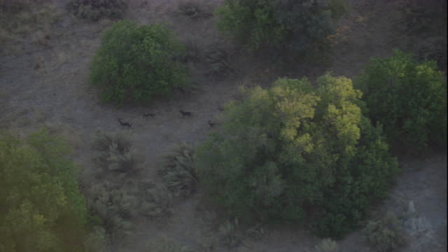 A pack of African hunting dogs hunt in the Okavango Delta of Botswana. Available in HD.