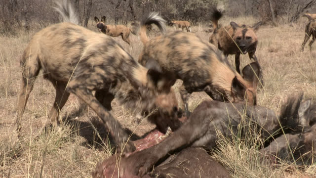 A pack of African wild dogs feeds on a wildebeest carcass.