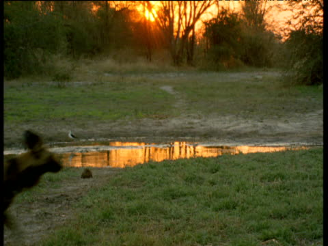 Pack of African wild dogs trot past pool at sunset, one returns and stares at the camera
