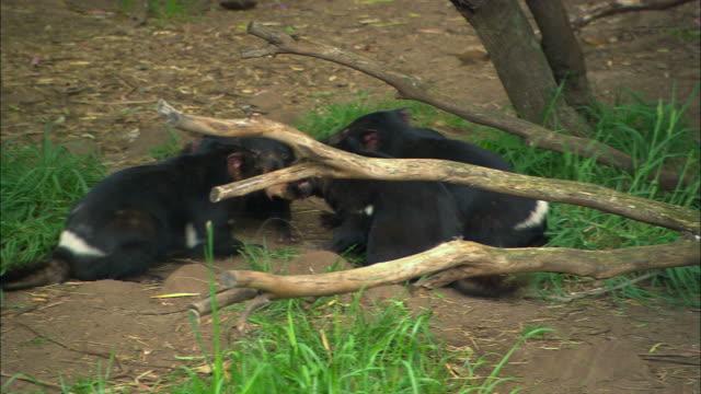 ms, ha, pack of five tasmanian devils (sarcophilus harrisii) pulling  piece of meat, taranna, tasmania, australia - beuteltier stock-videos und b-roll-filmmaterial